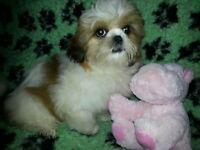 Male Miniature shih tzu puppy