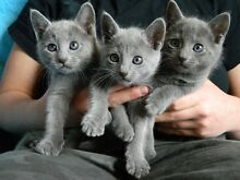 WANTED: PUREBRED RUSSIAN BLUE KITTEN/CAT Towradgi Wollongong Area Preview