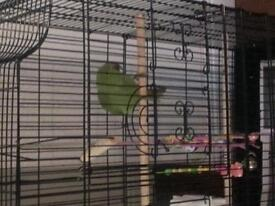 indian ringneck parrot for sale. hamster and 2 finches.