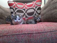 Tabby Kittens available 24th December