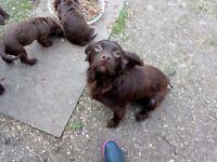 5 beautiful chocolate cocker spaniel puppies