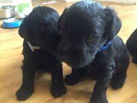 Schnauzer X Bedlington terrier puppies for sale