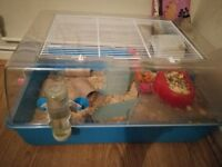 Roborovski dwarf hamsters plus fully equipped cage