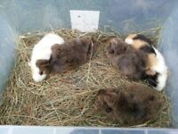 adorable baby guinea pigs