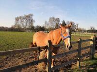 Chester a 17.2hh Irish Sport horse
