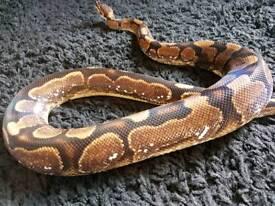 Adult male sugar royal ( ball ) python / snake