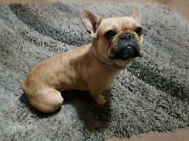 Female Frenchie for rehoming