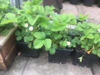 Strawberry 🍓 planters