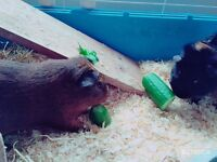 2 male guineapigs for sale
