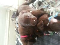 quality bred kenbel club registered chocolate labrador puppies