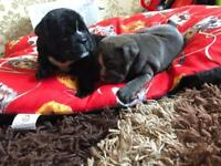 Black female bulldog puppy for sale
