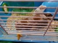 Hamster dwarf