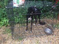 Suluki whippet greyhound