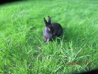 RABBIT FOR SALE LOVELY BLACK MALE 5 MTHS OLD LOP CROSSED ENGLSIH