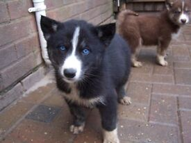 Black Little Lady - Siberian Husky Pup's for Sale