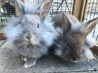 Two female lionhead cross for sale.