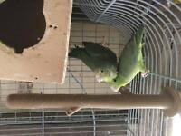 Celestial parrotlets pair