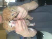 Three beautiful kittens two female ginger tabby's and one black and white male too