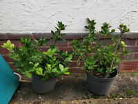 Large Euonymous Evergreen Garden Plants are well rooted( 2 for £30)