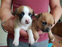 Female Chihuahua puppies
