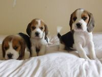 kc reg beagle girls looking for new homes!