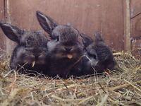 Adorable agouti mini lop rabbits