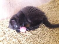 9 week old black kitten
