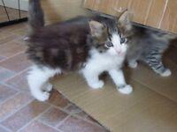 Pedigree Norwegian forest cat male kitten for sale