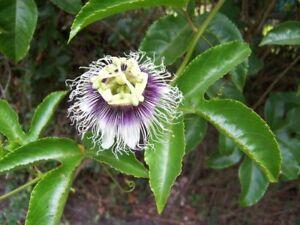Passion Fruit Plant - Possum Purple - Passiflora edulis
