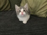 Georgeous silver/grey male kitten
