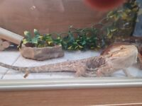 Bearded Dragon for sale, complete with all accessories.