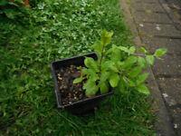 Plants for sale-Goji berry plants