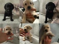 Labrador Puppies 🐶