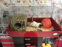 2 female guinea pigs looking for a new home
