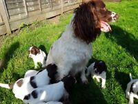 Kc reg springer spaniel pups ready 20th may