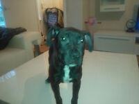 Black staffie pup for sale