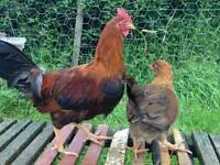 Wellsummer bantams for sale ( hens poultry chickens )