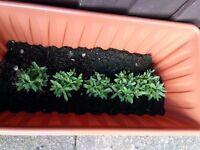 5 lavender plants