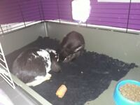 2 baby buns free dbl hutch vacced chipped