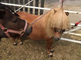 2 x Gorgeous Miniature Horses looking for their forever home
