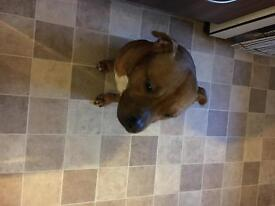 5year old male Staffordshire bull terrier