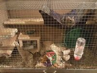 3 Male Degus With Large Cage For Sale.