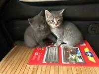 Male grey tabby kitten