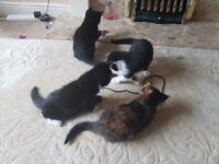 4 kittens for sale. 3 male 1 female 8 wks old