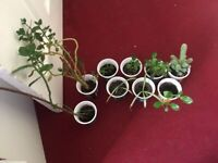 Baby Spider, Cactus and kalanchoe Plants. (Pick up only)