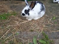 Lovely baby rabbits £10 each