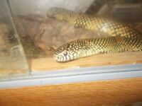 for sale, california king snake, 4.5 ft long, comes with tank and accessories
