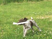 Beautiful German shorthaired Pointer pups