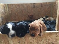 Lovely Black Girl Cockapoo Puppy for sale from a loving home