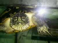 yellow bellied turtle/terrapin.free to RIGHT home